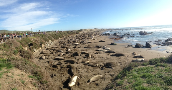 Elephant Seals as far as the eye can see...